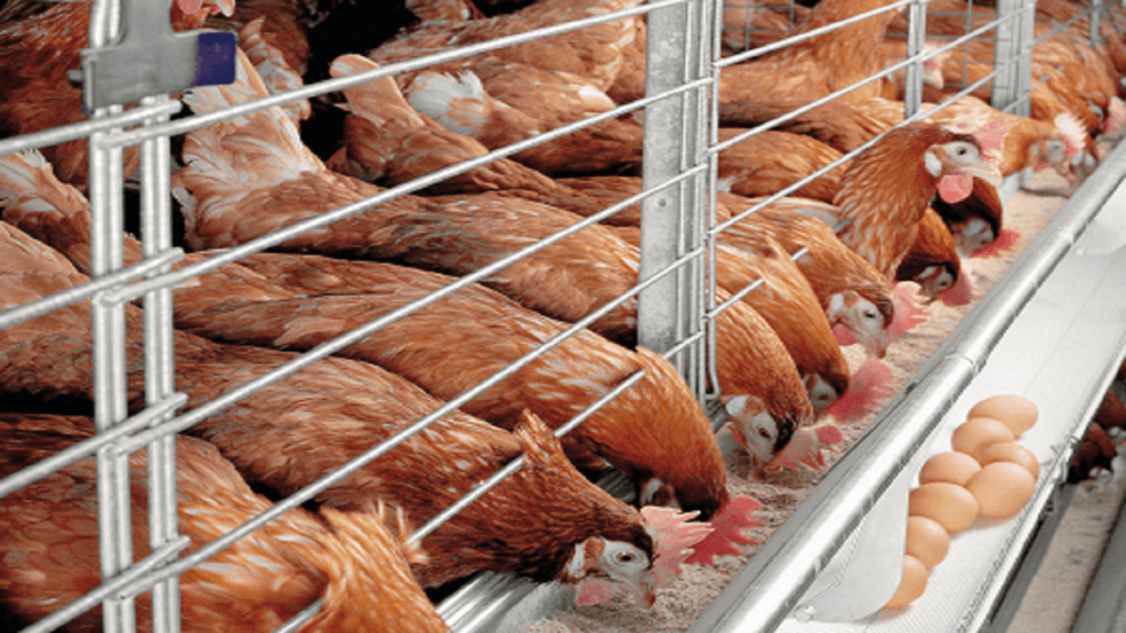 A Business Plan on Poultry Farming in Bamenda- Cameroon